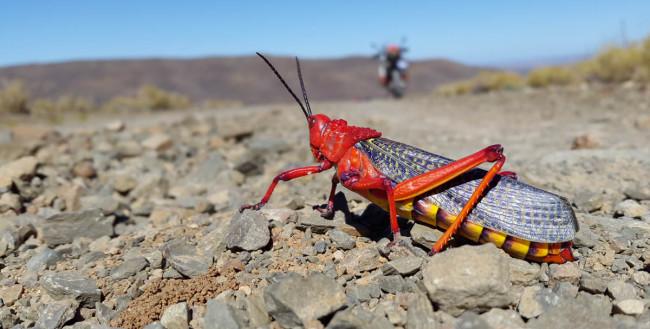 A KTM-branded grasshopper.